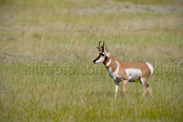 Pronghorn Antelope Picture @ Kiwifoto.com
