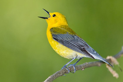 Prothonotary Warbler Photo @ Kiwifoto.com