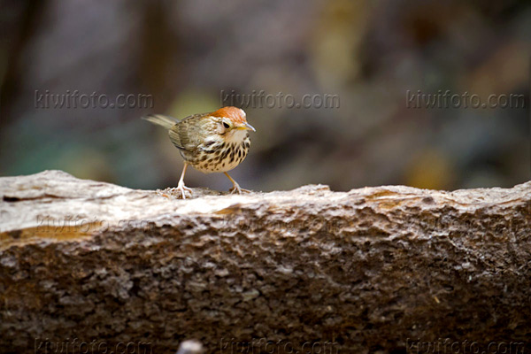 Puff-throated Babbler Image @ Kiwifoto.com