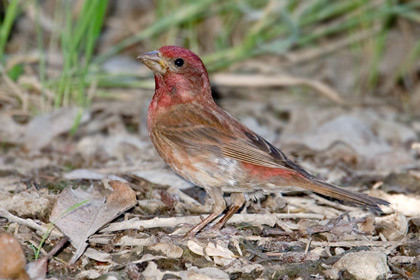 Purple Finch Photo @ Kiwifoto.com
