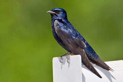 Purple Martin Photo @ Kiwifoto.com