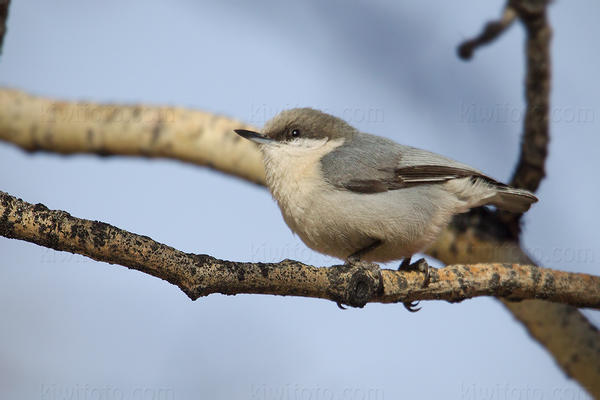 Pygmy Nuthatch Photo @ Kiwifoto.com