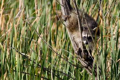 Raccoon Picture @ Kiwifoto.com