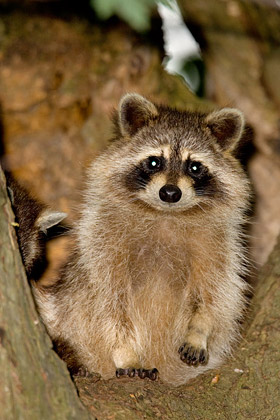 Raccoon Photo @ Kiwifoto.com