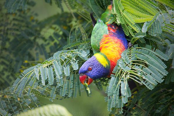 Rainbow Lorikeet @ Broadwater Parklands, Queensland, Australia