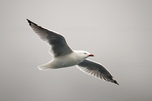 Red-billed Gull Image @ Kiwifoto.com