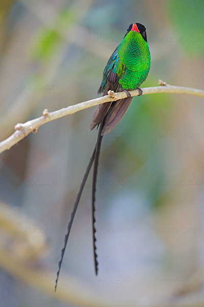 Red-billed Streamertail Picture @ Kiwifoto.com