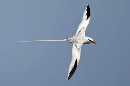 Red-billed Tropicbird Photo @ Kiwifoto.com