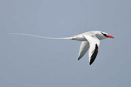Red-billed Tropicbird Image @ Kiwifoto.com