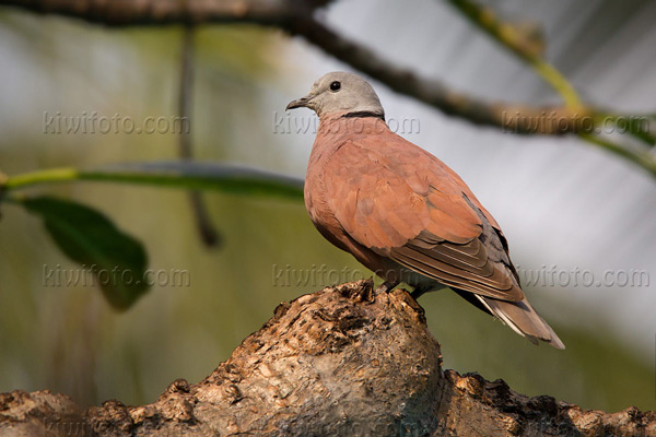 Red-collared-Dove