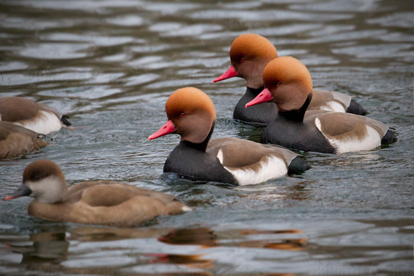 Red-crested Pochard Image @ Kiwifoto.com