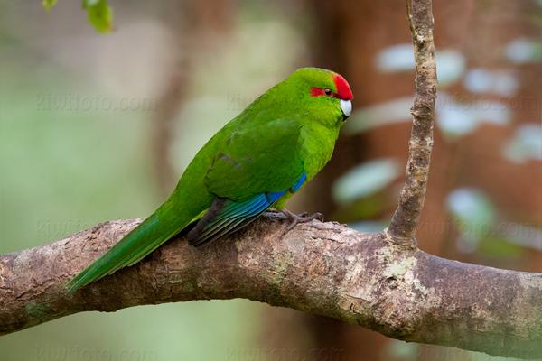 Red-crowned Parakeet Kakariki @ Stewart Island, South New Zealand