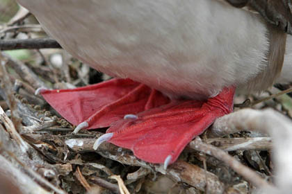 Red-footed Booby Image @ Kiwifoto.com