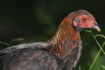Red Junglefowl Picture @ Kiwifoto.com