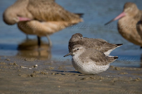 Red Knot Photo @ Kiwifoto.com