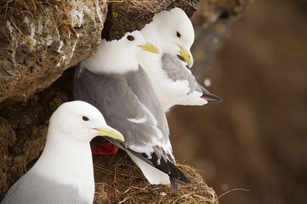 Red-legged Kittiwake Picture @ Kiwifoto.com