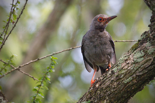 Red-legged Thrush Image @ Kiwifoto.com