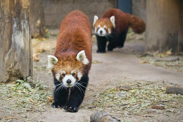 Red Panda Picture @ Kiwifoto.com