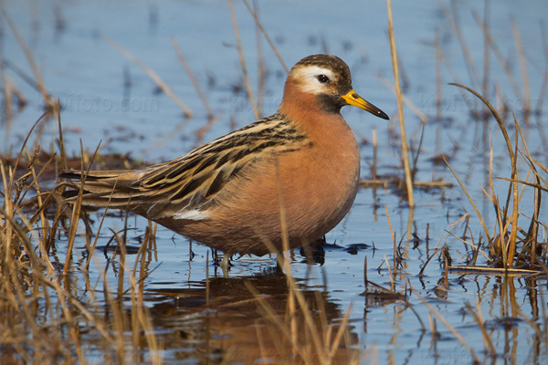 Red Phalarope Photo @ Kiwifoto.com