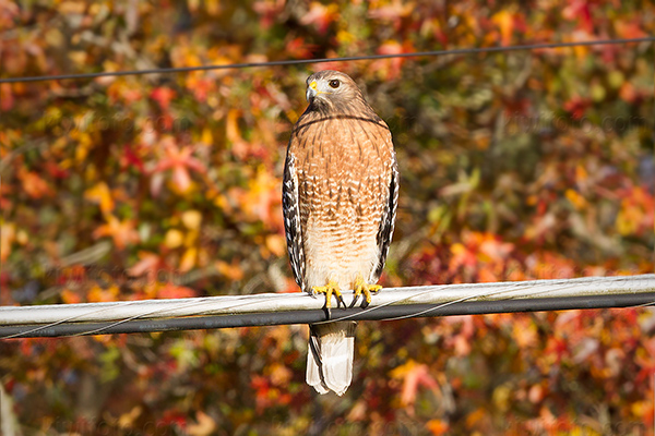 Red-shouldered Hawk @ Great Smoky Mountains, TN