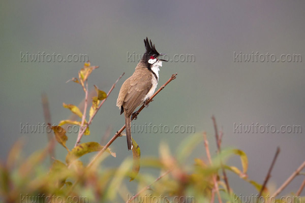 Red-whiskered Bulbul Picture @ Kiwifoto.com