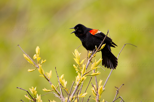 Red-winged Blackbird @ Maumee Bay State Park, OH