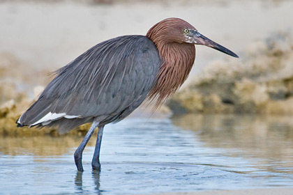 Reddish Egret Photo @ Kiwifoto.com