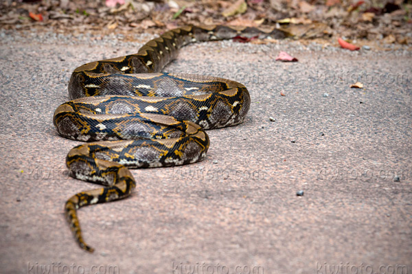 Reticulated Python Picture @ Kiwifoto.com