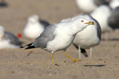 Ring-billed Gull Picture @ Kiwifoto.com