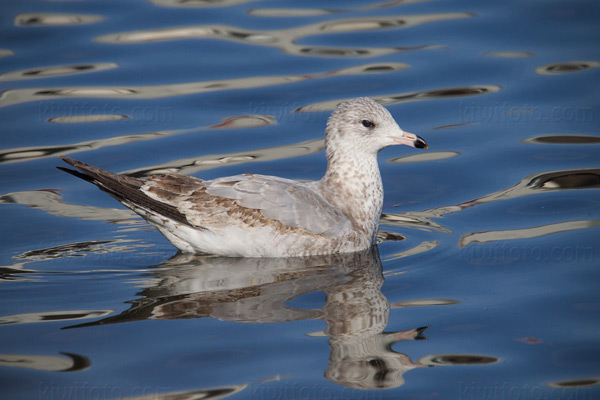 Ring-billed Gull (1st cycle)