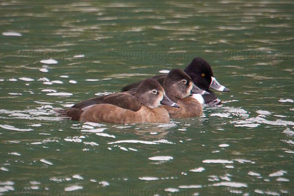 Ring-necked Duck Picture @ Kiwifoto.com