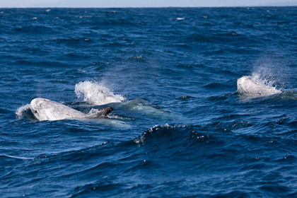 Risso's Dolphin Photo @ Kiwifoto.com