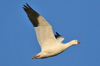 Ross's Goose Photo @ Kiwifoto.com