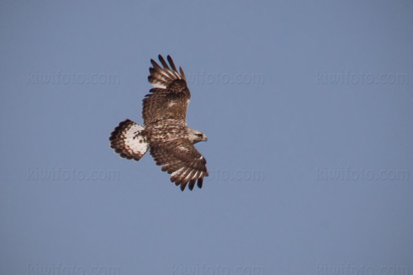 Rough-legged Hawk Picture @ Kiwifoto.com