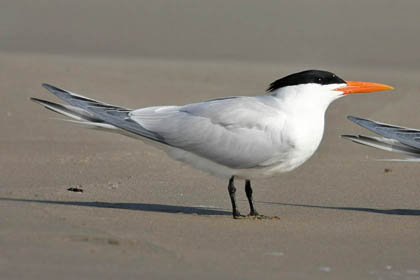 Royal Tern Photo @ Kiwifoto.com