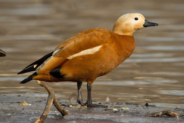 Ruddy Shelduck Picture @ Kiwifoto.com