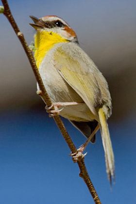 Rufous-capped Warbler Image @ Kiwifoto.com