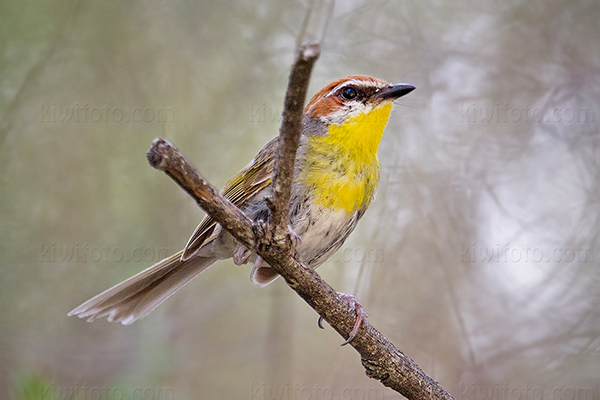 Rufous-capped Warbler Picture @ Kiwifoto.com