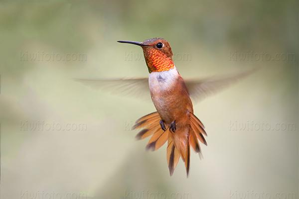 Rufous Hummingbird @ Miller Canyon, AZ