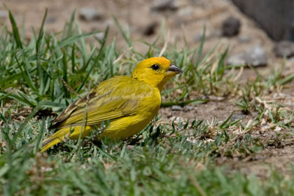 Saffron Finch Photo @ Kiwifoto.com