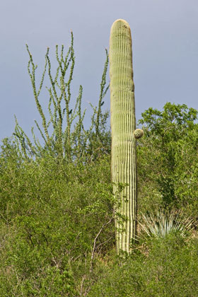 Saguaro Photo @ Kiwifoto.com
