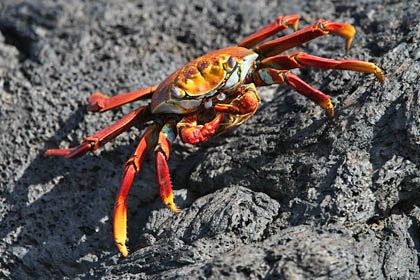 Sally Lightfoot Crab Picture @ Kiwifoto.com