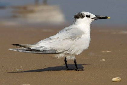 Sandwich Tern Photo @ Kiwifoto.com