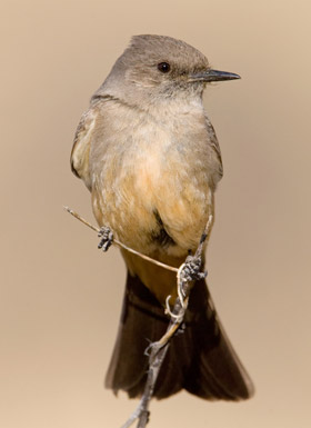 Say's Phoebe (Incubating Female showing 'Brood Patch')
