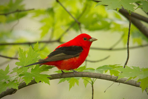 Scarlet Tanager Photo @ Kiwifoto.com