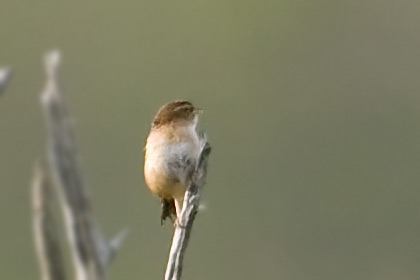 Sedge Wren Photo @ Kiwifoto.com