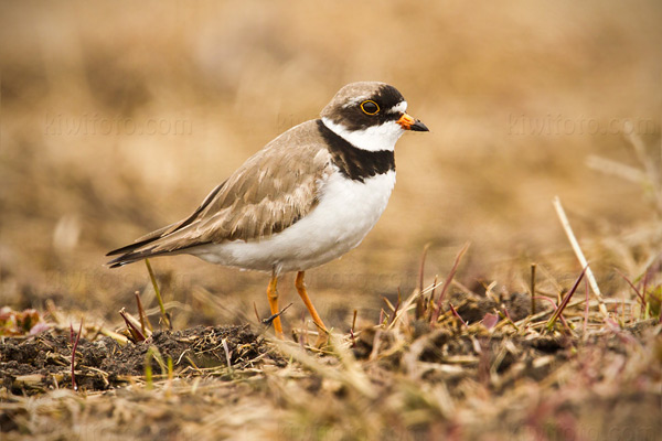 Semipalmated Plover Photo @ Kiwifoto.com