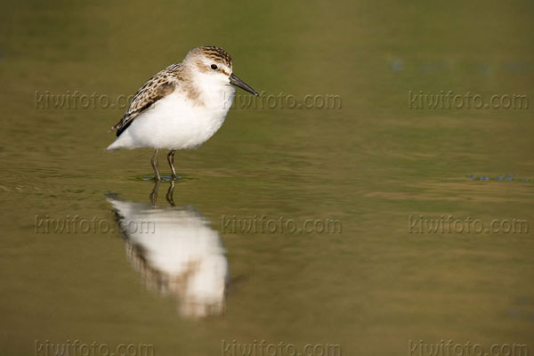 Semipalmated Sandpiper Photo @ Kiwifoto.com
