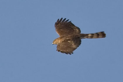 Sharp-shinned Hawk Picture @ Kiwifoto.com