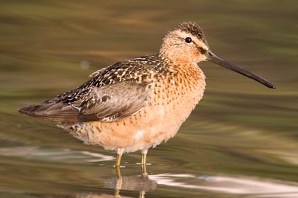 Short-billed Dowitcher Photo @ Kiwifoto.com
